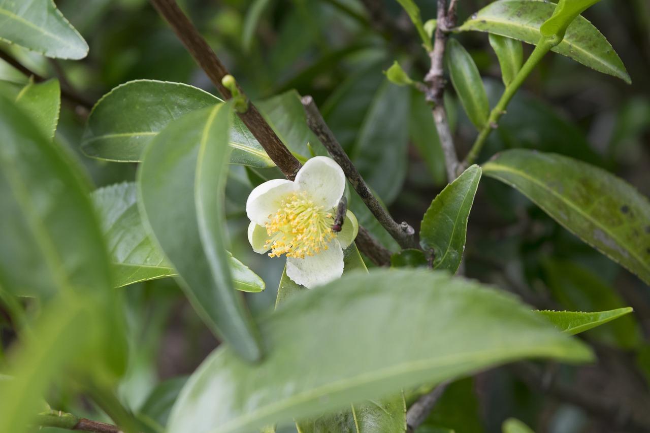 tea-flower-2579512_1280.jpg